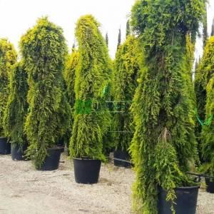 Ters aşılı Limoni servi, Kokulu monteri servisi - Cupressus macrocarpa pubol aurea pendula (CUPRESSACEAE)