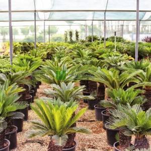 Japon Sago Palmiyesi, Kral Sago Palmiyesi,Yalancı palmiye - Cycas revoluta (CYCADACEAE)