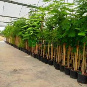 Gösterişli ağaç, alev ağacı, tavus kuşu çiçeği, ateş ağacı - Delonix regia (CAESALPINIACEAE)