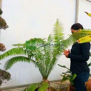 Dev Dioon, Sakız Palmiyesi - Dioon spinulosum (ZAMIACEAE)