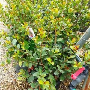Surinam Kirazı, Pitanga, Brezilya Kiraz,Florida Kiraz - Eugenia uniflora etna fire (MYRTACEAE)