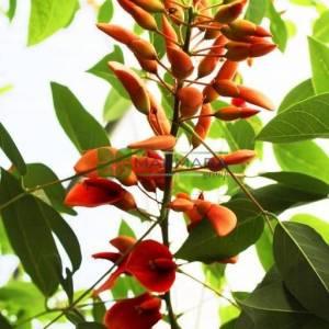 Brezilya Mercan Ağacı, Horozibiği ağacı - Erythrina crista-galli (PAPILIONACEAE)