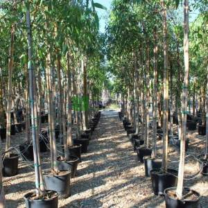 Okaliptüs, Irmak Sakız Ağacı - Eucalyptus camaldulensis (MYRTACEA)