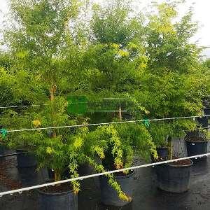 Seiryu japon akçaağacı - Acer palmatum seiryu (ACERACEA)