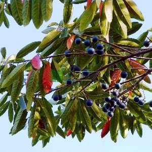 Japon yabanmersini ağacı - Elaeocarpus decipiens (ELAEOCARPACEAE)