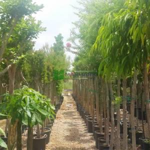 Muz yaprağı kauçuk, incir Alii, zakkum yapralı kauçuk - Ficus maclellandii alii (MORACEAE)