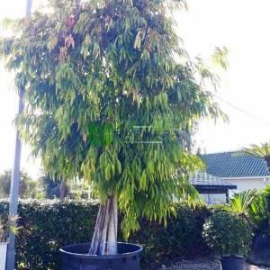 Muz yapraklı kauçuk, Büyük yapraklı kauçuk - Ficus maclellandii amstel king (MORACEAE)
