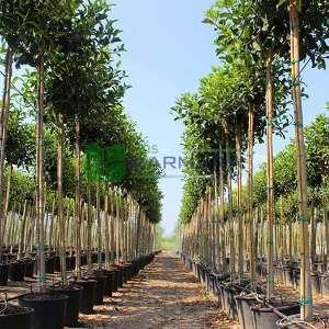 Avustralya kauçuğu - Ficus australis (MORACEAE