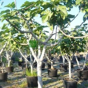 İncir meyve - Ficus carica (MORACEAE)