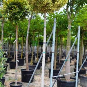 Hint defne incirİ, yeşil ada inciri, Çin Banyan yeşil-sarı yapraklı - Ficus microcarpa hawaii (MORACEAE)