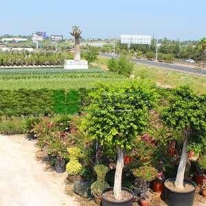 Sokak benjamini, Kauçuk, Çin, Malayan, banyanı, Hint defnesi, perde inciri, gajumaru - Ficus nitida (F. microcarpa nitida) (MORACEAE)
