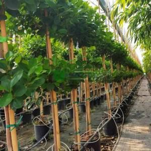 Ağlayan incir, Çin Banyan - Ficus benjamina panda (MORACEAE)