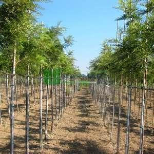 ipek meşesi,Kıbrıs meşesi, Grevilya,Gümüş meşe - Grevillea robusta (PROTEACEAE)