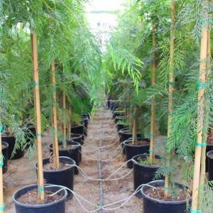 ipek meşesi, Kıbrıs meşesi, Grevilya, Gümüş meşe, İpek Ağacı, Avustralya gümüş meşe - Grevillea robusta (PROTEACEAE)