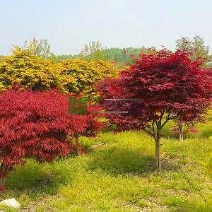 Shaina japon akçaağaç - Acer palmatum shaina (ACERACEA)