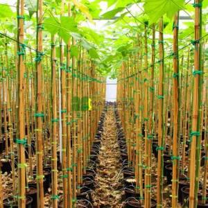 Pamuk Gül, Yol hatmi, Ağaç gülü, Hint gülü, Yanardöner - Hibiscus mutabilis (MALVACEAE)
