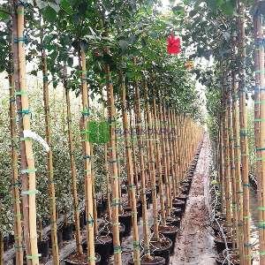 Tropikal hatmi,Çin gülü, japon hatmi gülü ağaç formlu - Hibiscus rosa-sinensis tige (MALVACEAE)