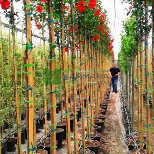Tropikal hatmi, Çin gülü, japon hatmi gülü ağaç formlu - Hibiscus rosa-sinensis tige (MALVACEAE)