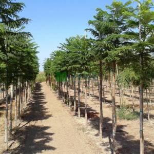 Jacaranda, Doğanın büyülü ağacı, Brezilya gül ağacı - Jacaranda mimosifolia (BIGNONIACEAE)