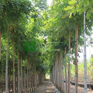 Güvey kandili, Fener ağacı,Altın ağacı - Koelreuteria paniculata (SAPINDACEAE)