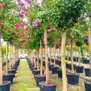 Oya ağacı, İspanyol leylağı, Hint leylağı, Amerikan oya, Çin oyası - Lagerstroemia indica rosea half tige (LYTHRACEAE)