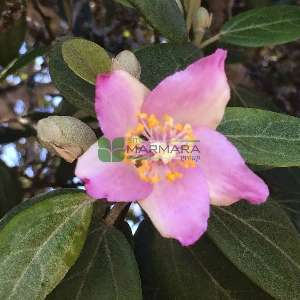 Norfolk Adası hatmisi,Kaşık ağacı hatmisi - Hibiscus patersonii (Lagunaria patersonii) (MALVACEAE)