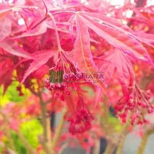 Shirazz japon akçaağacı - Acer palmatum shirazz (ACERACEA)