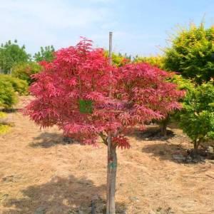 Shirazz japon akçaağacı kısa tijli - Acer palmatum shirazz half tige (ACERACEA)