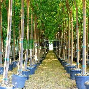 Çin dutu,Boncuk Ağacı, Farsça Leylak, Hindistan Gururu, Çin Gururu, Şemsiye Ağacı, Beyaz Sedir - Melia azedarach (MELIACEAE)
