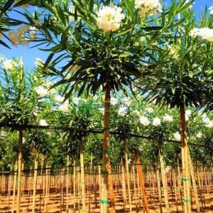 Zakkum beyaz çiçekli , Zıkkım, Ağı ağacı, Kan ağacı, Aşı ağacı, Ağı çiçeği - Nerium oleander album (APOCYNACEAE)