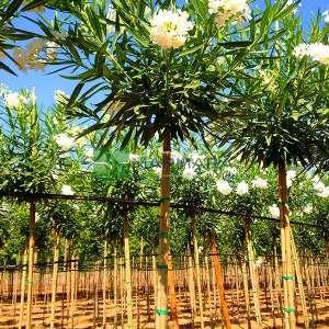 Zakkum beyaz çiçekli , Zıkkım, Ağı ağacı, Kan ağacı, Aşı ağacı, Ağı çiçeği - Nerium oleander alba tige (APOCYNACEAE)