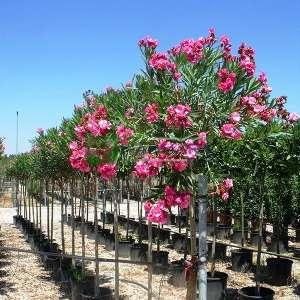 Zakkum, Zıkkım, Ağı ağacı, Kan ağacı, Aşı ağacı, Ağı çiçeği kısa tijli, baston form - Nerium oleander half tige (APOCYNACEAE)