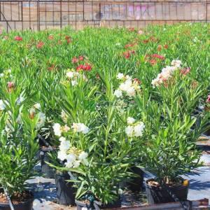 Zakkum beyaz çiçekli, Zıkkım, Ağı ağacı, Kan ağacı, Aşı ağacı, Ağı çiçeği - Nerium oleander album bush (APOCYNACEAE)