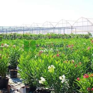Zakkum beyaz çiçekli, Zıkkım, Ağı ağacı, Kan ağacı, Aşı ağacı, Ağı çiçeği - Nerium oleander alba bush (APOCYNACEAE)