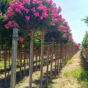 Zakkum, Zıkkım, Ağı ağacı, Kan ağacı, Aşı ağacı, Ağı çiçeği - Nerium oleander papa gambetta (APOCYNACEAE)