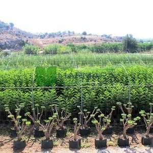 Ponpon şekilli Zeytin ağacı, Avrupa zeytini, Topiary zeytin - Olea europa topiary ponpon (OLEACEAE)