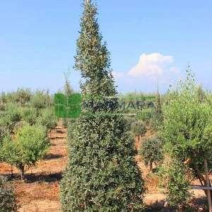 Piramit şekilli Zeytin ağacı, Avrupa zeytini, Topiary zeytin - Olea europa pyramidale (OLEACEAE)