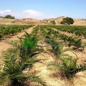 Hurma ağacı, Kanarya Adası Hurma palmiyesi,feniks,fenix - Phoenix canariensis (ARECACEAE)