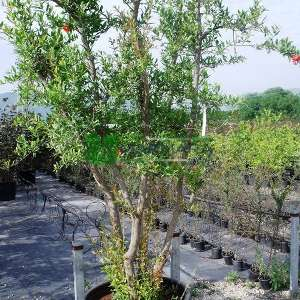 Nar meyve, süs narı - Punica granatum (LYTHRACEAE)