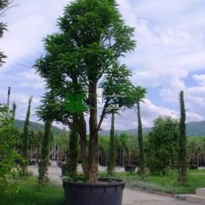 Yabani akasya, Keçiboynuzu - Robinia pseudoacacia