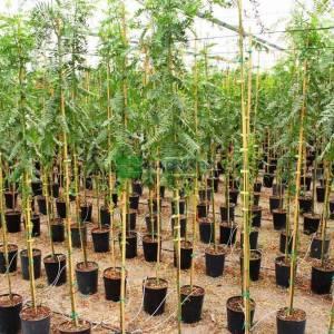 Kaliforniya biber ağacı, sakız ağacı, Perulu sakız ağacı,Yalancı karabiber ağacı - Schinus molle (Schinus areiria) (ANACARDIACEAE)