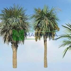 Lahana Palmiyesi, Sabal Palmiye - Sabal palmetto (ARECACEAE)