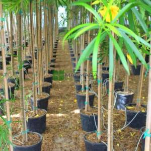 Şanslı Fındık,Sarı zakkum,Meksika zakkumu,Peru zakkumu - Thevetia peruviana (Cerbera peruviana) (APOCYNACEAE)