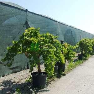 Asma, Üzüm, Aküzüm, Kara üzüm - Vitis vinifera (VITACEAE)