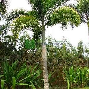 Tilki Kuyruğu Palmiyesi - Wodyetia bifurcata (ARECACEAE)
