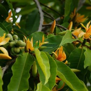 Sarı Yeşim Orkide Ağacı, Kokulu Champaca, Kokulu Himalaya Champaca - Michelia champaca (Magnolia champaca) (MAGNOLIACEAE)