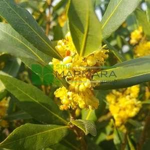 Defne, Akdeniz defnesi kısa tijli - Laurus nobilis half tige (LAURACEAE)