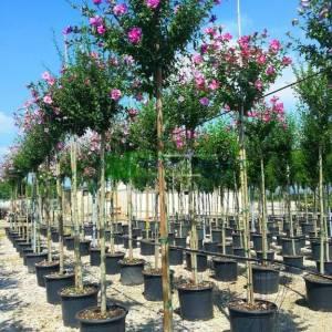 hatmi ağacı eflatun çiçekli aşılı tijli, - Hibiscus syriacus magenta chiffon tige (MALVACEAE)