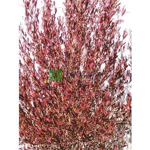 Dodonya - Dodonaea viscosa purpurea (SAPINDACEAE)