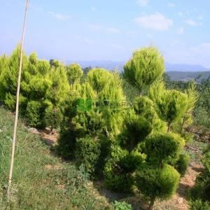 Şekilli Limoni servi, Kokulu monteri servisi üç top - Cupressus macrocarpa goldcrest three balls (CUPRESSACEAE)